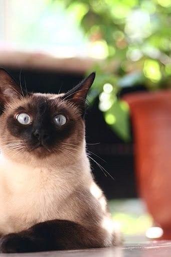 Подборка фото сиамских кошек