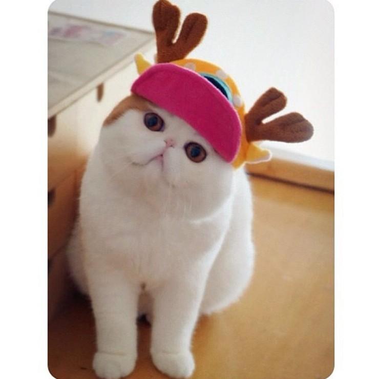 Экзотическая короткошерстная кошка фото и история возникновения