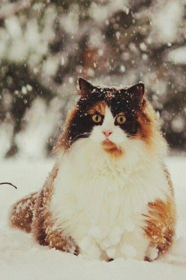 Жирные кошки фото