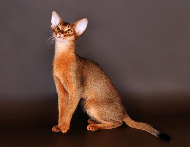 Абиссинская кошка фото и характер