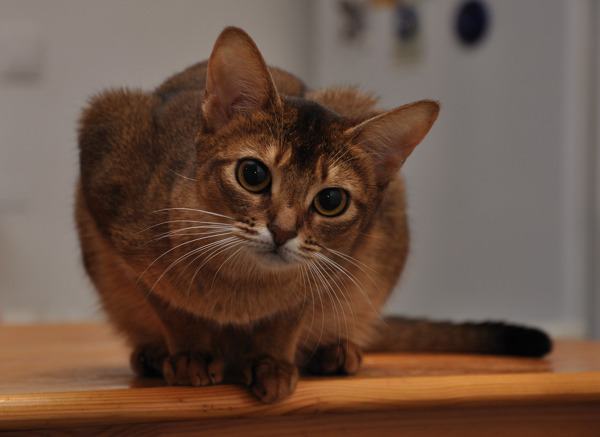 abyssinian_cat_3