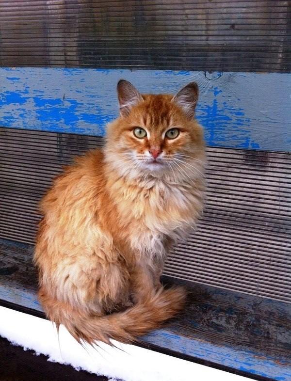 Рыжий дворовый кот