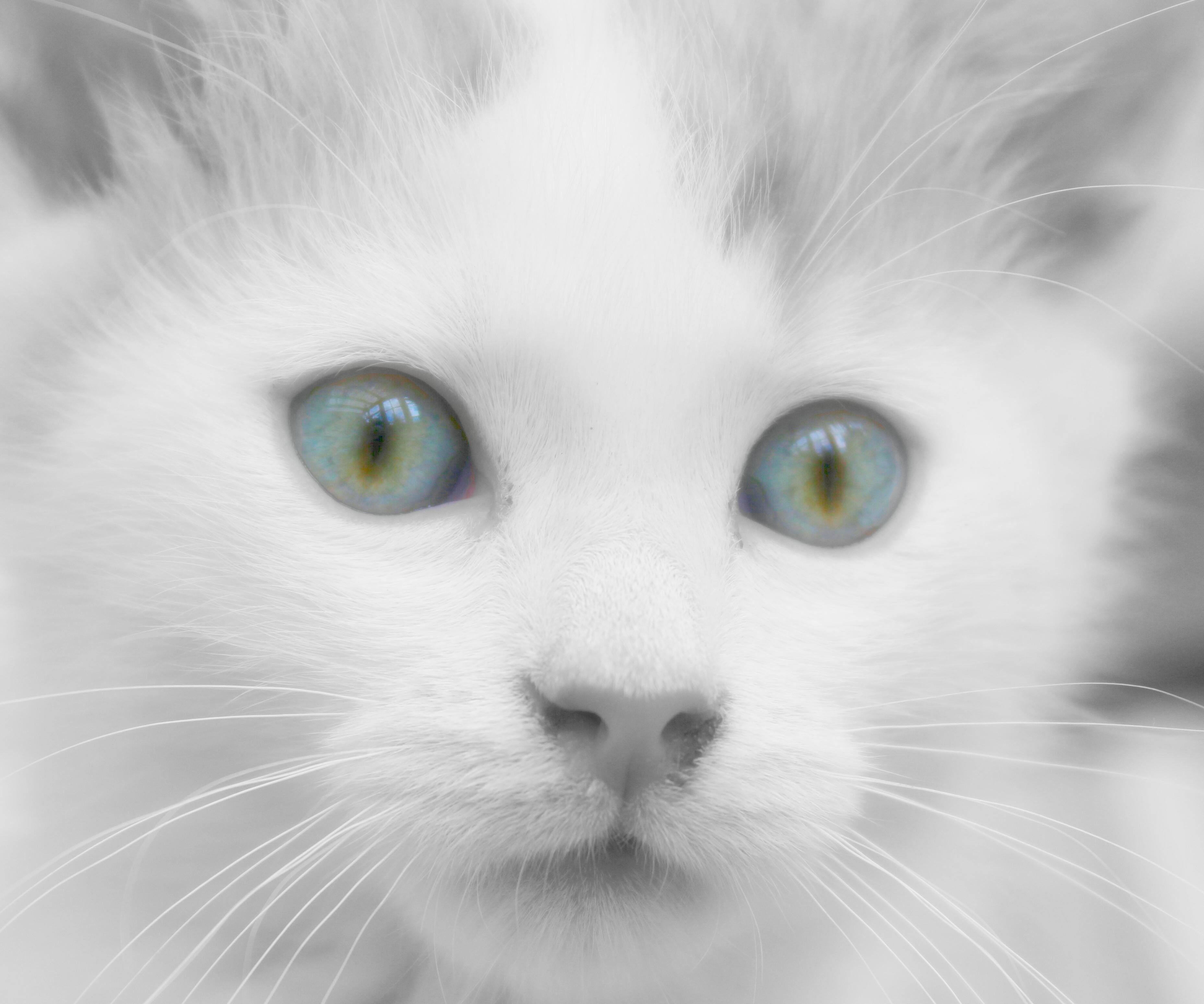 Картинки белых кошек с голубыми глазами