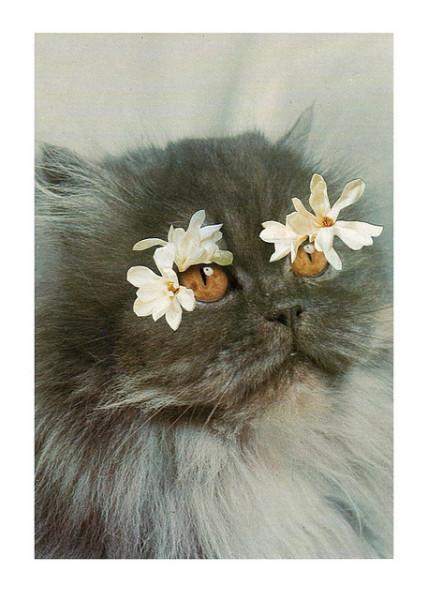 Серая персидская кошка фото