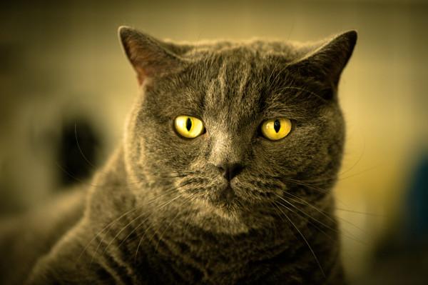 Британские шотландские коты фото