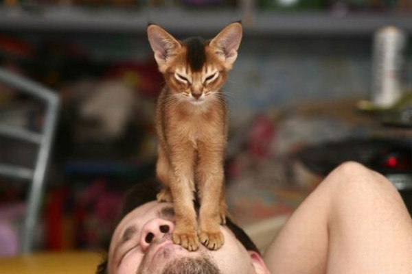 Абиссинская кошка фото дикий