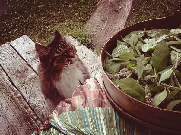 Коту дали кошачью мяту