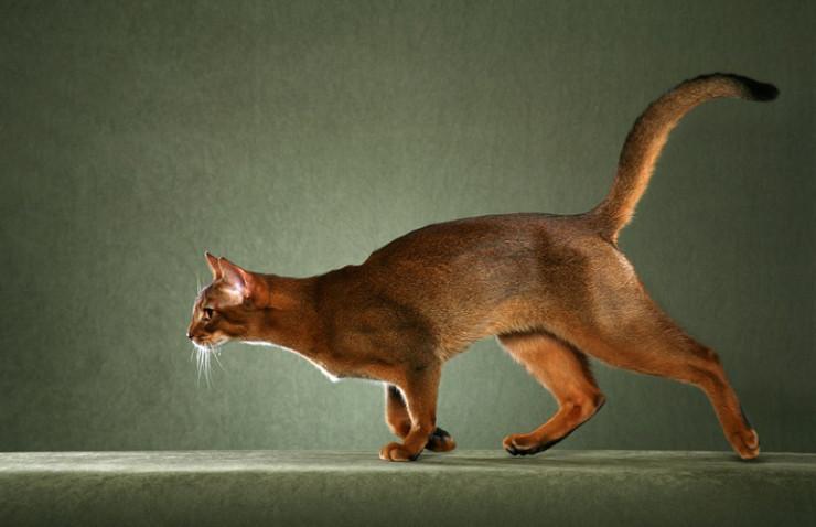 Фото абиссинских кошек и котят