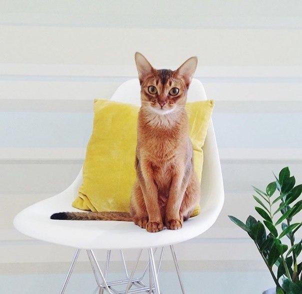 Абиссинская рыжая кошка фото
