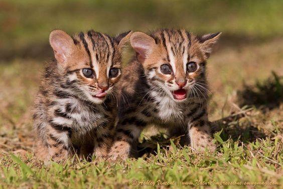 Бенгальские котята фотоподборка